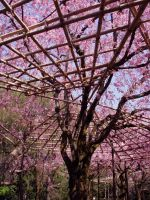 Japanese Cherry Blossoms by Kitty-Kibbles