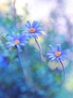blue daisy by Mars-Hill