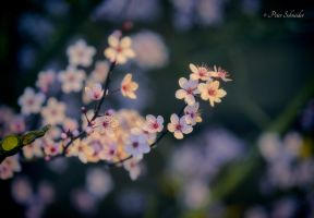 Blossome (II). by Phototubby