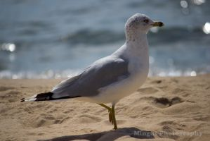 seagull 6 by justarus