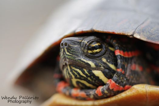 Painted Turtle Portrait by wendy-pellerito