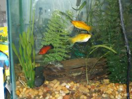 Mollys  Red Wag Platy and Coriadora Cat Fish by LilWolfStudios