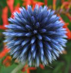 Unopened Globe Thistle by parallel-pam