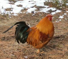 Roosters 04 by Pairastocks