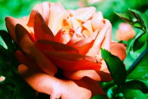 Roses are Pink by Beholdentolove