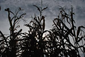 Corn Stalk Silhouette by KameleonKlik