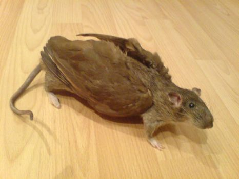 Taxidermy winged rat by amandas-autopsies