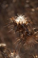 Thistle by copperarabian