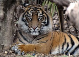 Sumatran Tiger 6 by Mkatpro11