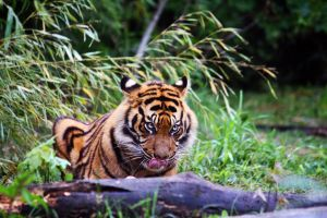 Sumatran tiger 7 by Sabbie89