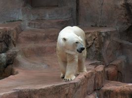 Polar Bear Stock2 by Gnewi-Stock