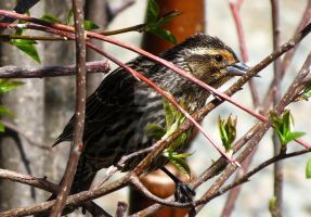 Red Winged Blackbird Female by TearsofEndearment