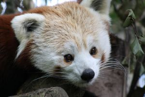 Red Panda 10 C by Cilmeron