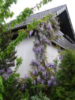 wisteria tree climbing up and in front of my house by 3pinkrosegardens