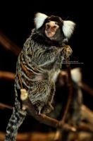 Little Marmoset by 8TwilightAngel8