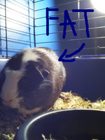 My guinea pig, Gip! by RasUltimate