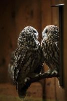 Owl couple by TriinErg