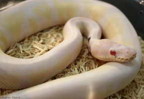 Paradox Snow ballpython II by oOBrieOo