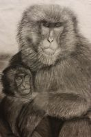 Charcoal: Baboons by spilledpaint88