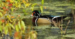 Wood Duck in September Marsh by natureguy