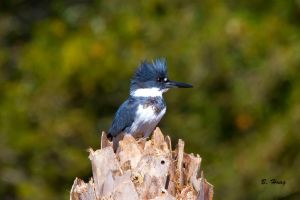 Belted Kingfisher by Grouper
