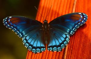 Red Spotted Purple by Enkased