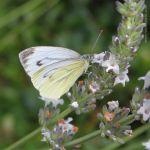 Butterfly on White Lavender by wiebkerost