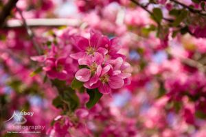 Crab Apple Flowers by Nebey