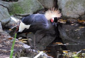 African crowned crane walking by fosspathei