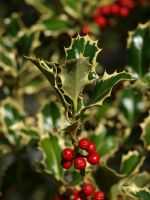 Holly 07 by botanystock