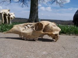 White Tail Doe Skull Side by TheMidasTouch