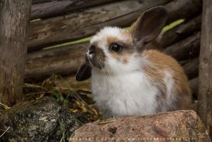 Baby Bunny * by linneaphoto