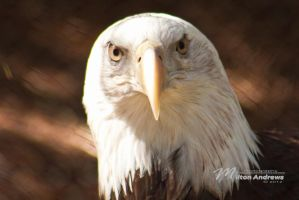 Bald Eagle by Milton-Andrews