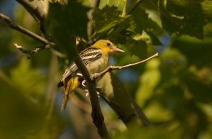 Female Baltimore Oriole July - 2014 - 7 - 3 by toshema