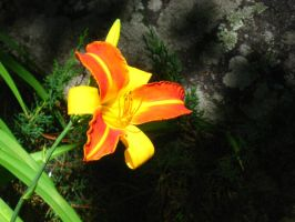orange and yellow daylily by crazygardener