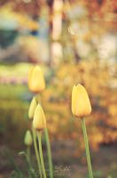 Soft Yellow Tulips by JessicaDobbs