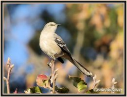 Mocking bird by Gooiool