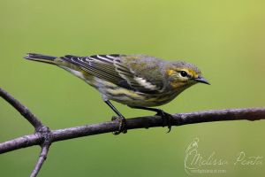 Backyard Warbler by mydigitalmind