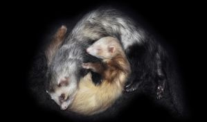 Sleeping Ferrets by BooBooKittyPurr