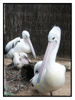 Pelican Family Moments by darkgarden