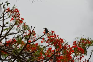 For Eva's kindness Hummerbird in flamboyant tree by A1Z2E3R