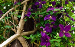 Purple Vine Flowers by StarwaltDesign