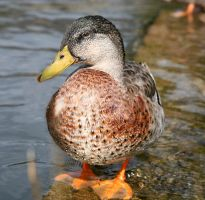 Duck pose by NickiStock
