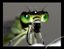 eyes of a Dragonfly by albatros1