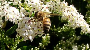 Bee with white flowers by BGai