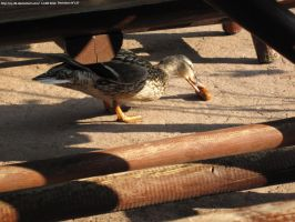The duck eats a sausage by CJ-DB