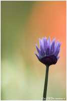 Chives 2 by Gex78