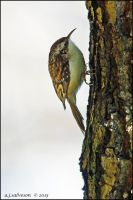 Tree Creeper. by andy-j-s
