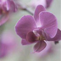 Pastel Flower - Orchid 3 by webworm