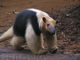 The tamandua by Henrieke